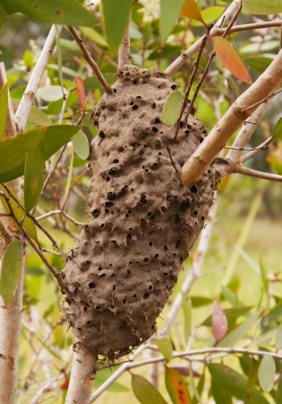 Ants nest in a tree photo