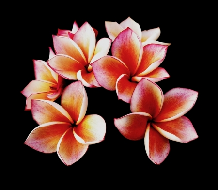 Glorious frangipani or plumeria flowers, with black background
