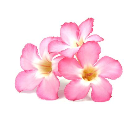 Floral background  Close up of Tropical flower Pink Adenium  Desert rose on isolated white background  photo