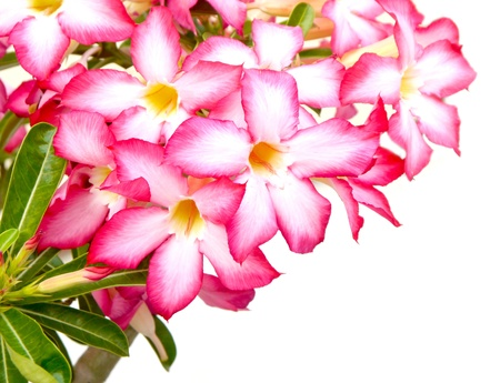 impala lily: Floral background  Close up of Tropical flower Pink Adenium