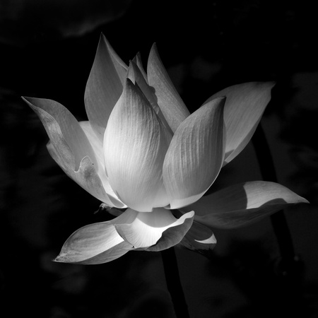 Black and white lotus photo