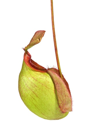 Nepenthes ampullaria photo