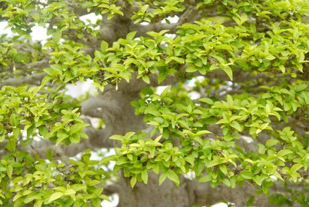 bonsai tree:   Bonsai tree Stock Photo