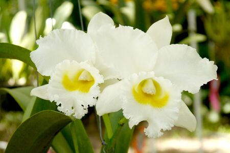 Cattleya orchid photo