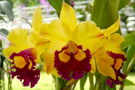 exporter: Cattleya orchid