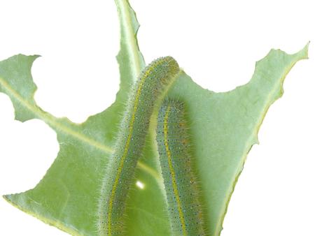 clamber: verme verde sono arrampicarsi su un ramo