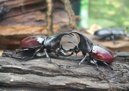 Male and female stag beetles photo