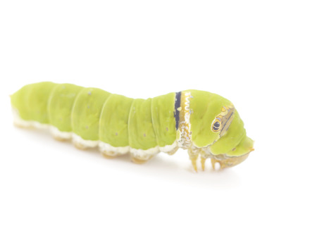 pupation: Green caterpillar isolated on white