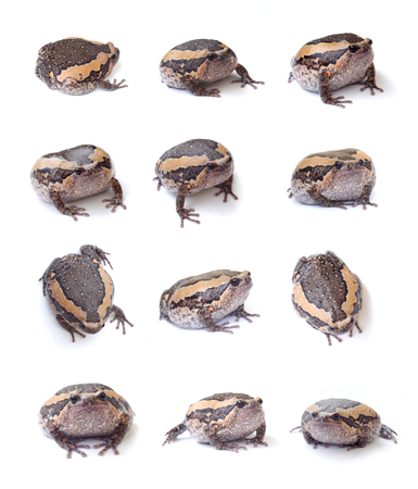 bullfrog set isolate on white background  photo