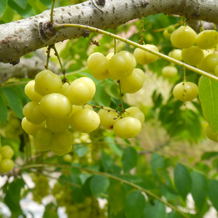 star gooseberry on tree photo