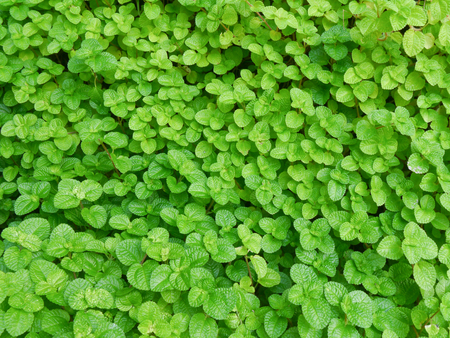 encroach: green leaves wall background