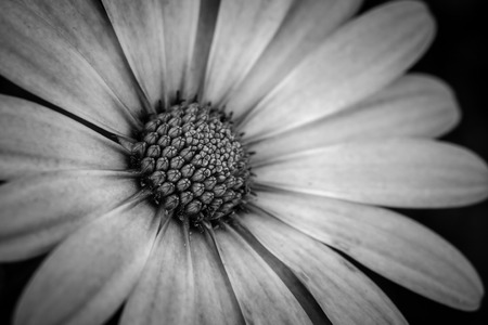 black and white close up daisy flower Stock Photo