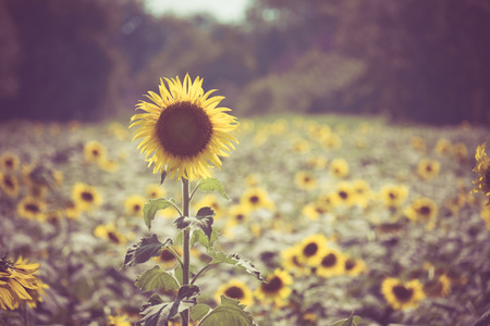 retro circles: sunflower with filter effect retro vintage style Stock Photo
