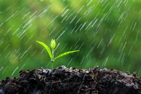 Groene spruiten in de regen Stockfoto