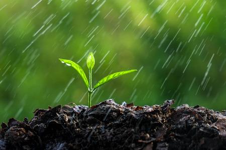 planta con raiz: Brotes verdes en la lluvia