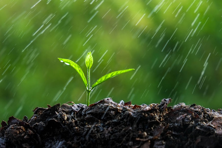 Pflanzen: Grüne Sprösslinge in der regen