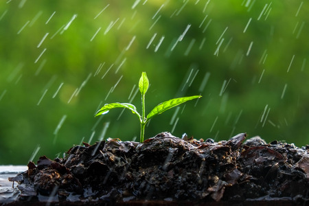 sprout growth: Green sprouts in the rain