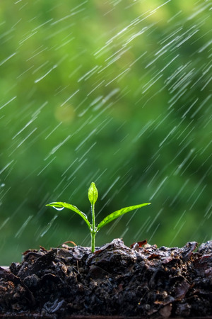 spring water: Green sprouts in the rain