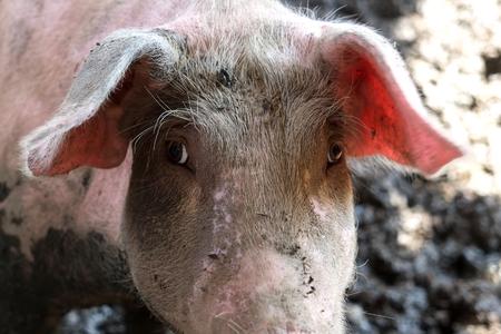slobber: pigs in farm