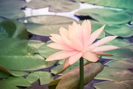 lotusbloem met filter effect retro vintage stijl
