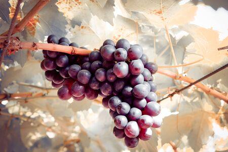 uva pendono da una vite con effetto filtro retrò stile vintage Archivio Fotografico