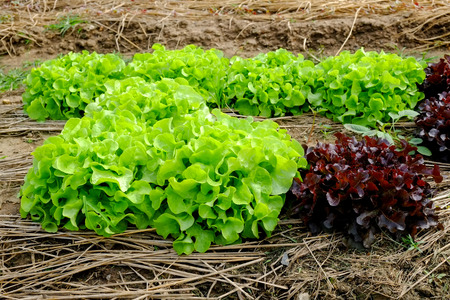 fertile: Rows of fresh lettuce plants on a fertile field, ready to be harvested Stock Photo