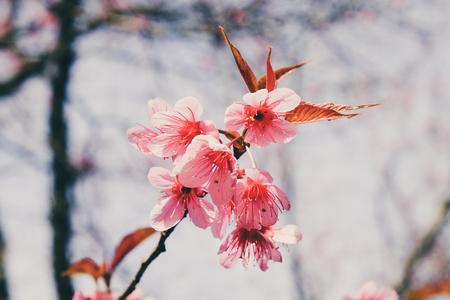 fleur de cerisier: Sauvage fleur de cerisier himalaya avec effet de filtre style vintage rétro Banque d'images