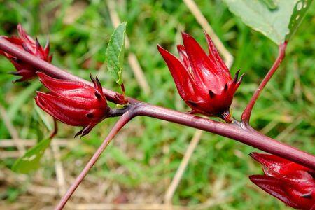 hibiscus: Hibiscus sabdariffa  Roselle  Healthy Food Alternative Medicine Drinks Stock Photo