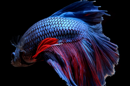 animal fight: betta fish isolated on black background Stock Photo