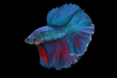 caudal fin: betta fish isolated on black background Stock Photo