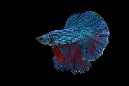 caudal: betta fish isolated on black background Stock Photo