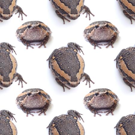 bullfrog: bullfrog isolate on white pattern background seamless design