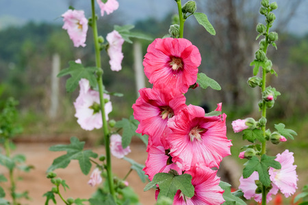 Pink hollyhock flowers closeup