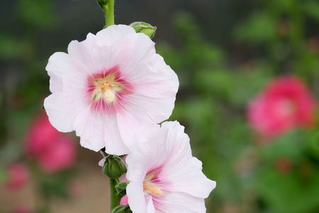 Pink hollyhock flowers closeup