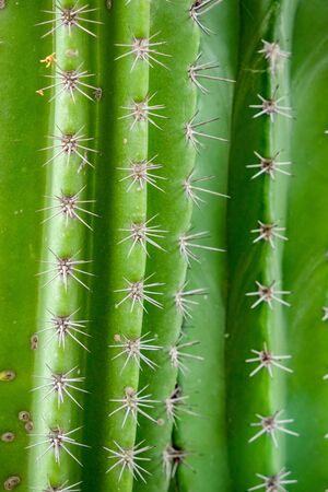 Natural background Cactus succulent plant Stock Photo