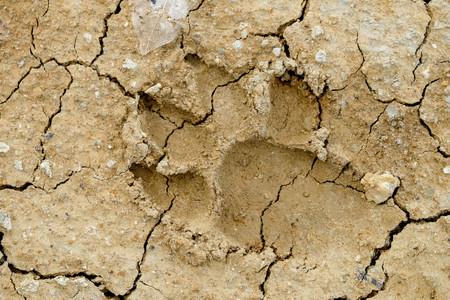 추상적 인 배경에 동물 발자국 토양의 균열 기후 변화와 가뭄 토지입니다. 스톡 콘텐츠 - 80604950