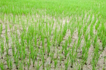 Rice fields in rural Thailand