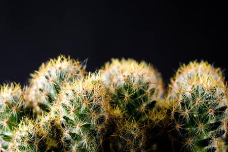 Texture of Cactus plant close-up on black background . soft focus