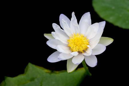 lotus flower in the garden