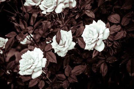 Flower background. white roses flower in the garden with filter effect retro vintage style