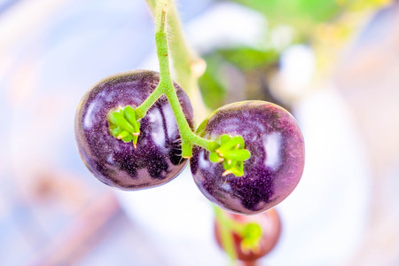 fresh purple heirloom tomatoes on the vine in a garden Stock Photo