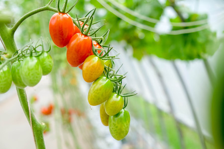 fresh tomatoes on the vine in a garden