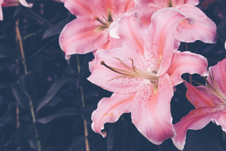 Flower background. pink Lily flower in the garden with filter effect retro vintage style