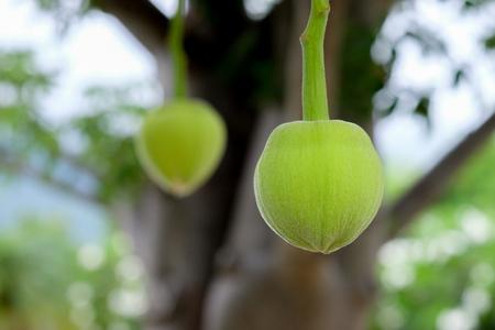 Fruta de baobab africano o pan de mono