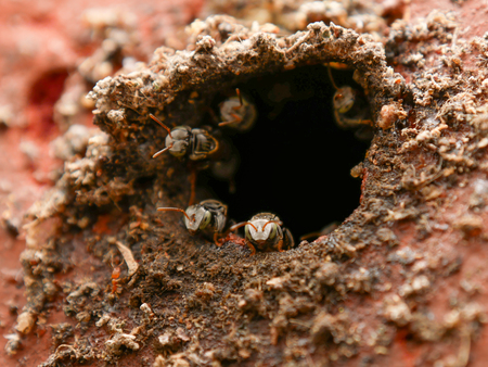 Stingless bee, jatai bee at the entrance of their hive Stock Photo