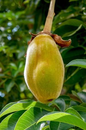 Fruta de caqui africano o pan del mono Foto de archivo - 109033584