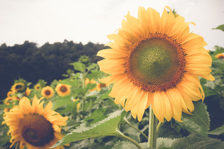 sunflower with filter effect retro vintage style Stock Photo