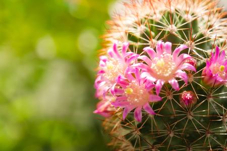 Beautiful cactus flower on sunlight Stock fotó