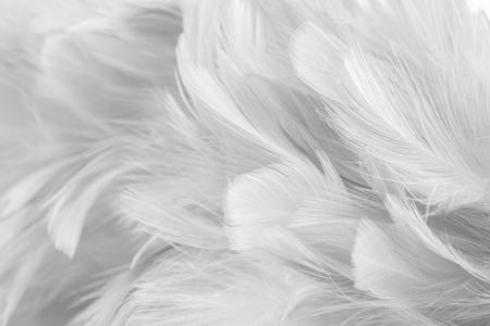 Fondo abstracto Textura de plumas de aves y pollos, estilo de desenfoque y color suave del diseño de arte