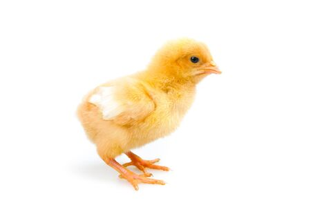 chick or little chicken isolated on white background Agriculture, farm and Livestock Concept Zdjęcie Seryjne